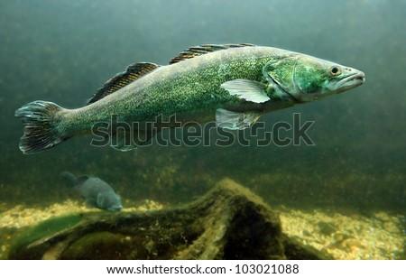 Underwater photo of a big Zander or Pike-perch (Sander lucioperca). Trophy fish in Hracholusky Lake - Czech Republic, Europe. - stock photo
