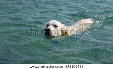 Underwater photo of dog swimming in Mylopotas beach, Ios island, Cyclades, Greece