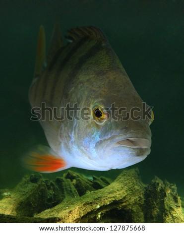 Underwater photo of The European Perch (Perca fluviatilis). - stock photo
