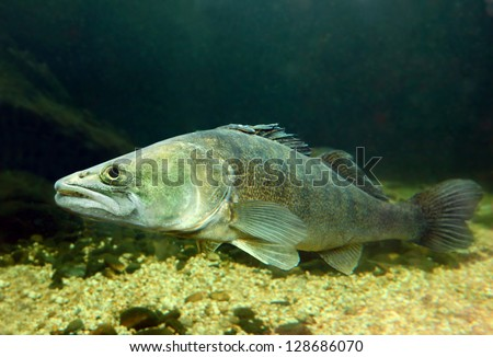 Underwater photo of The Pike Perch (Sander Lucioperca). - stock photo
