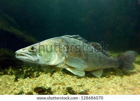 Underwater photo of The Pike Perch (Sander Lucioperca). - stock photo