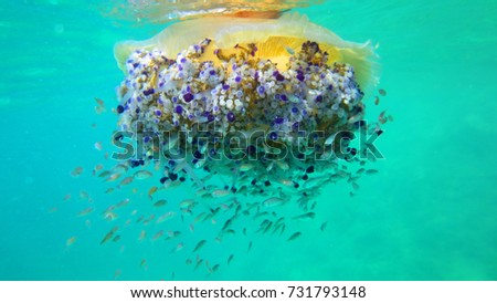 Underwater photo of tropical Jellyfish with yellow, turquoise and sapphire colours surrounded by small fish
