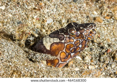 Underwater picture of Snake Eel hiding in the sand