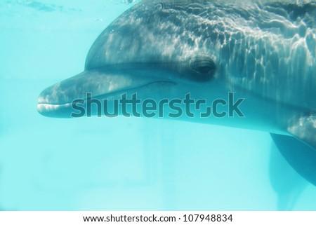 underwater portrait of bottlenose dolphin - stock photo