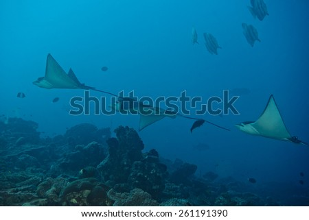 Underwater portrait of eagle ray manta in Maldives - stock photo