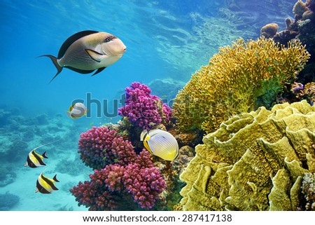 Underwater scene with coral reef and fish photographed in shallow water, Red Sea, Marsa Alam, Egypt                                - stock photo