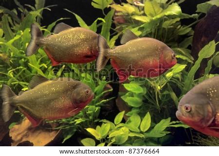 Underwater scenery with piranhas and aquatic plants - stock photo