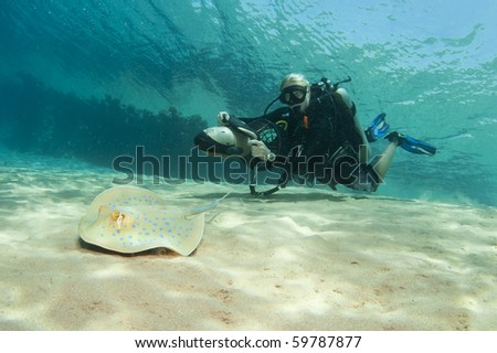 underwater scuba diver on DPV with blue spotted sting ray - stock photo