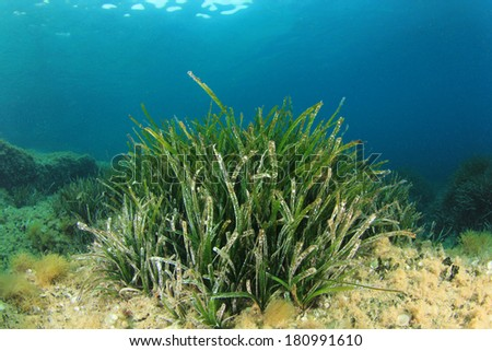 Underwater Seagrass Background - stock photo