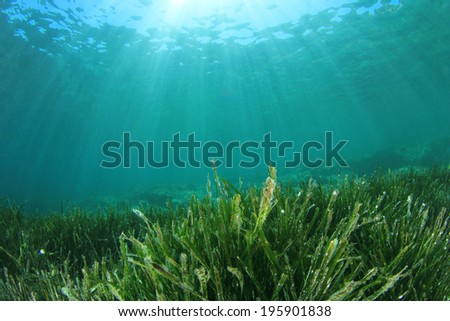 Underwater Seaweed and sunlight - stock photo