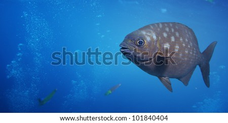 Underwater shoot of a funny fish with open mouth fining in blue clear water - stock photo