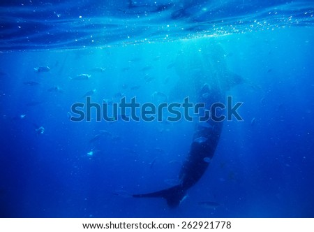 Underwater shoot of a gigantic whale shark - stock photo