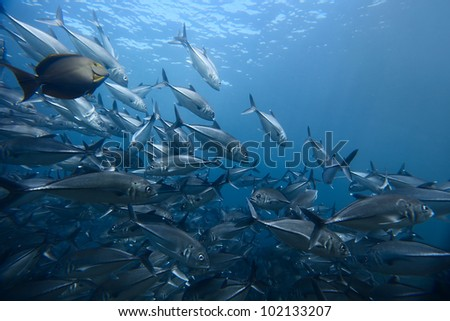 Underwater shoot of school of the Jackfish with some other species