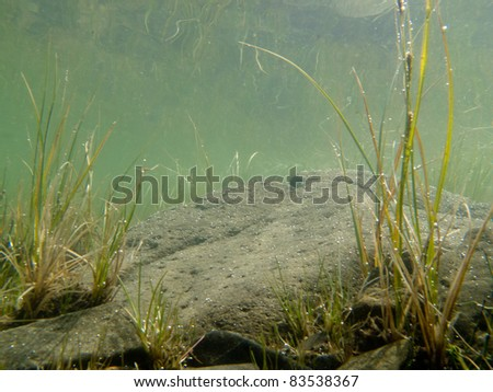 Underwater shot of grass and plants submerged in clear water with lots of airbubbles and reflection on subsurface. - stock photo