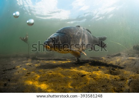 Underwater shot of the fish (Carp of the family of Cyprinidae) in a pond near the bottom - stock photo