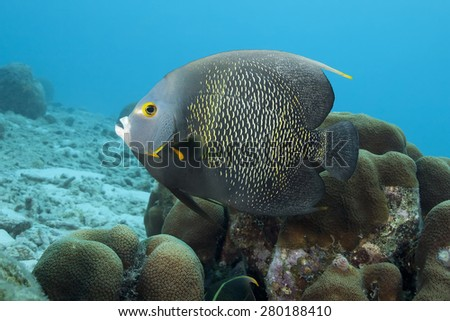 Underwater Tropical French Angle Fish, Bonaire - stock photo