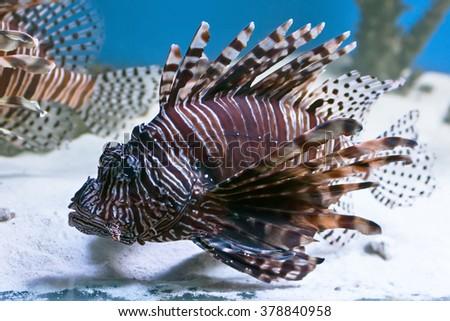 Underwater, Underwater World, corals and beautiful fish. Zebra fish - stock photo