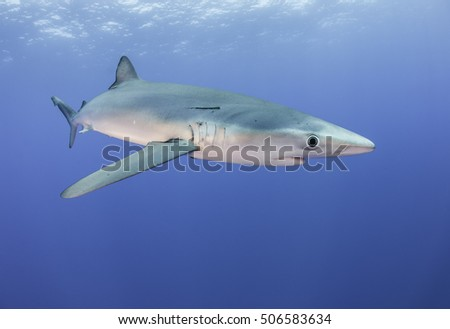 Underwater view of a blue shark swimming at the dive site called Azores Banks off Pico Island in the Azores Portugal.