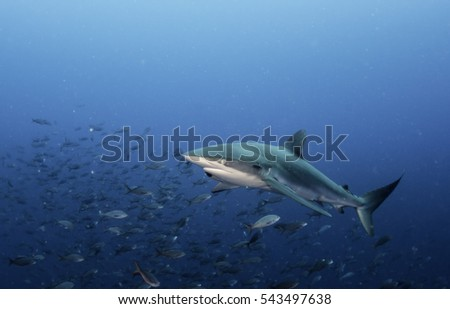 Underwater view of a galapagos shark swimming in blue water amongst a large school of tropical fish.