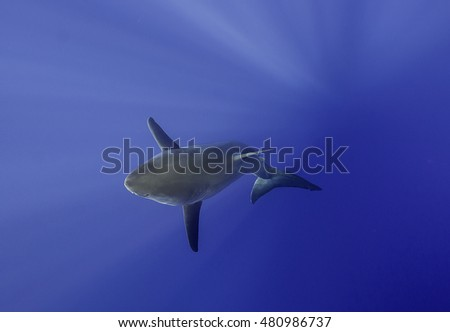 Underwater view of a great white shark.  Guadalupe Island Mexico.