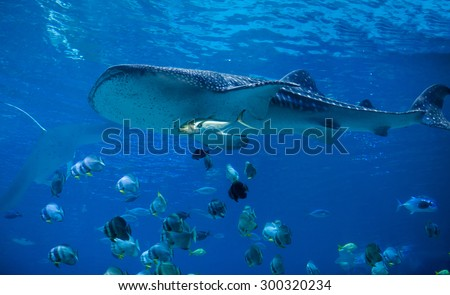 Underwater view of whale shark swimming with school of fish - stock photo