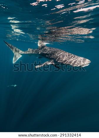 Underwater whale shark - stock photo