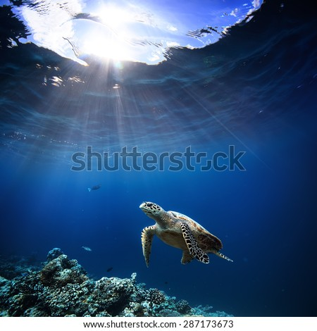 Underwater wildlife with animals, Divers adventures in Maldives. Sea turtle floating over beautiful natural ocean background. Coral reef lit with sunlight trough water surface.