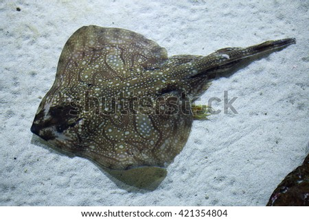 Undulate ray (Raja undulata). Wild life animal.