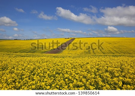 undulating bright yellow canola fields in the scenic yorkshire wolds england under a blue springtime cloudy sky