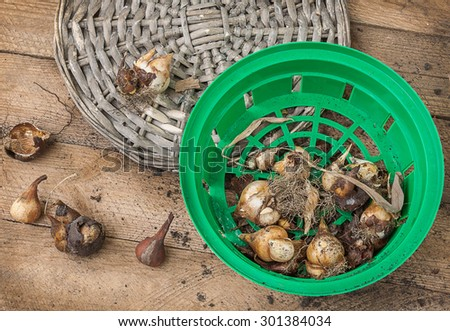 Unearthed after flowering tulip bulbs in a basket on the table - stock photo
