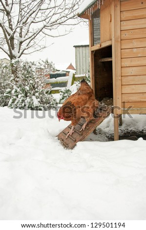 Unenthusiastic free range hen taking a closer look at the snow - stock photo