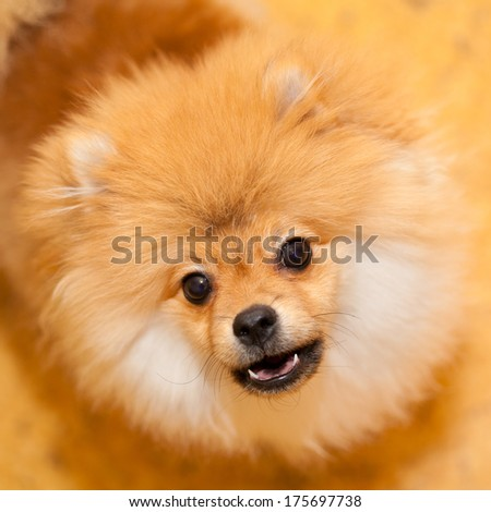 unhappy dog Spitz. Wary looks into the camera. Shooting indoors. Small dog breeds. - stock photo