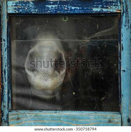 Unhappy horse trapped behind a window with blue frame - stock photo