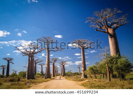 Unidentified boy walking on the sandy path in the famous Avenida de Baobab near Morondava in Madagascar