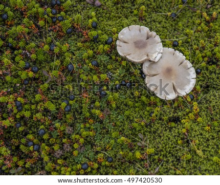 Unidentified mushrooms in a moss and Empetrum nigrum, crowberry, in the Highlands of Iceland near porsmork.