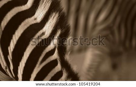 Unique abstract zebra photo in monochrome,taken in Addo Elephant national park, - stock photo