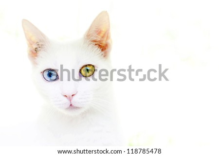 Unique - Isolated White cat with different colored eyes - stock photo