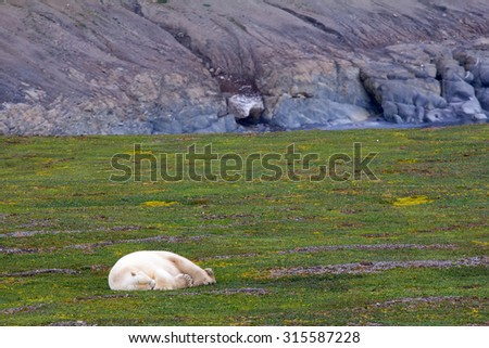Unique photo: polar bear sleeping in open tundra in the polar day - stock photo