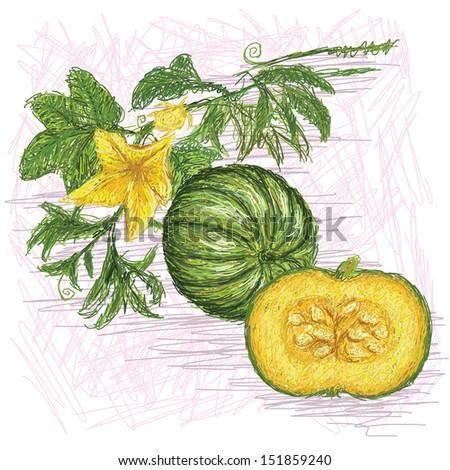 unique style illustration of pumpkin vegetable. Scientific name Cucurbita pepo isolated in white background.  - stock photo