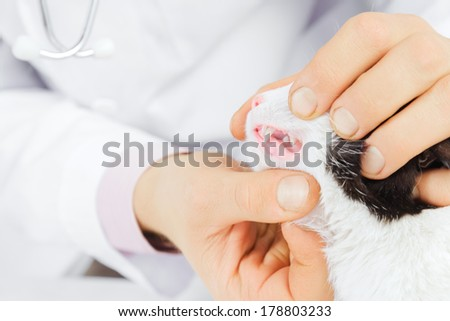Unrecognizable male veterinarian examines teeth of a cat