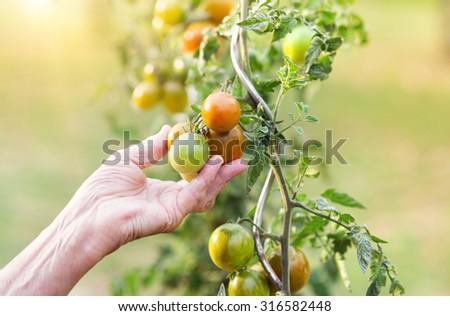 Unrecognizable senior woman in her garden harvesting tomatoes - stock photo