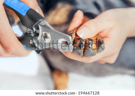Unrecognizable woman is cutting nails of dog dachshund - stock photo
