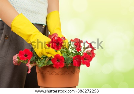 Unrecognizable woman with yellow gloves holding a pot of beautiful red Petunia flowers. Dreamy green background.