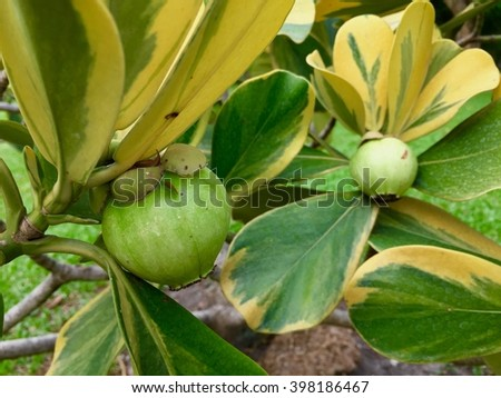 Unripe and green fruit mangosteen on a branch