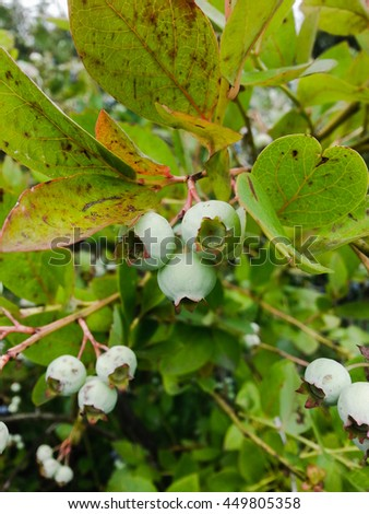 Unripe blueberry on the branch. - stock photo