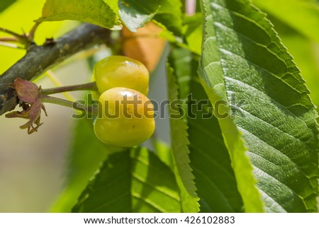 Unripe cherries on the tree.Cherries on a tree branch. Fresh cherries. Sweet cherries.