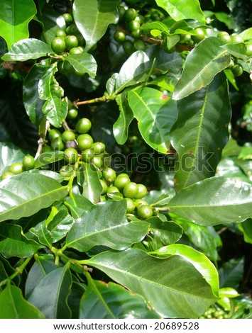 Unripe coffee beans on stem in Costa Rica plantation - stock photo