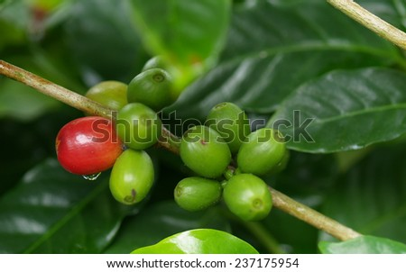 Unripe coffee seeds, Tonga - stock photo