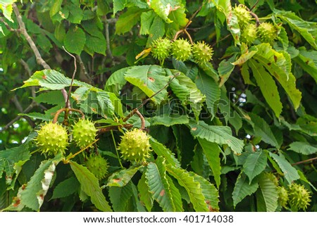 Unripe fruits of the chestnut on the branches. Chestnuts on tree branch surrounded by green big leaves. Round fruits with thorns hanging on tree. Autumn time.