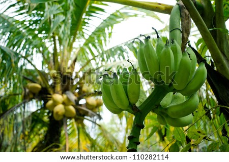 Unripe green bananas growing on a tree